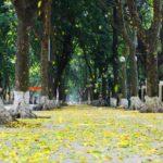 fallen leaves hanoi