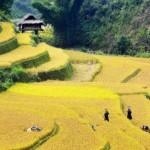 sapa crop